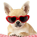 Chihuahua In Heart Sunglasses Dp813 by Greg Cuddiford