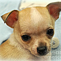 Chihuahua Precious  by Mindy Bench