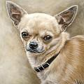 Chihuahua by Tobiasz Stefaniak