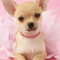 Chihuahua With Feather Boa by Greg Cuddiford