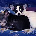Chihuahua Young And Old In Campanionship by Christopher Shellhammer