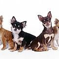 Chihuahuas Dogs by John Daniels