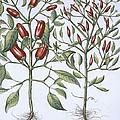 Chilli Pepper Plants by German School