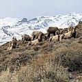 Chimney Rock Rams by Darcy Tate