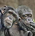 Chimp Couple by Savannah Gibbs