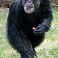 Chimpanzee-5 by Gary Gingrich Galleries