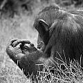 Chimpanzee In Thought by Jonny D