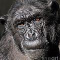 Chimpanzee Portrait by Aleksandar Mijatovic