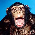 Chimpanzee Portrait by Toni Angermayer