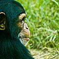 Chimpanzee Profile by Jonny D