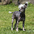 Chinese Crested Dog by M. Watson