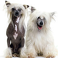 Chinese Crested Dogs by Jean-Michel Labat