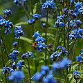 Chinese Forget Me Nots And Honey Bee by Byron Varvarigos