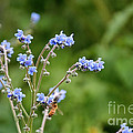 Chinese Forget Me Nots by Susan Herber