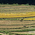 Chinese Terraces by James Brunker