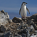 Chinstrap On The Look Out.. by Nina Stavlund