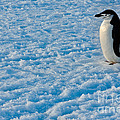 Chinstrap Penguin by John Shaw