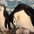 Chinstrap Penguin by Ronald Osborne