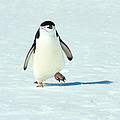 Chinstrap Penguin Running by Amanda Stadther