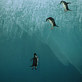 Chinstrap Penguins Leaping by Jean-Paul Ferrero
