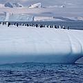 Chinstrap Penguins On Iceberg by Flip Nicklin