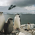 Chinstrap Penguins With Chick Paradise by Tui De Roy