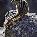 Chipmunk   #2152 by J L Woody Wooden