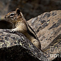 Chipmunk   #8276 by J L Woody Wooden
