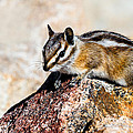 Chipmunk by Ben Graham