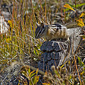 Chipmunk In Yellowstone by Crystal Heitzman Renskers