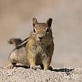 Chipmunk  by Jacklyn Duryea Fraizer