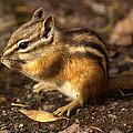 Chipmunk by James Peterson