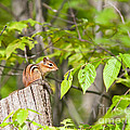 Chipmunk Shares Fence Post by Timothy Flanigan and Debbie Flanigan