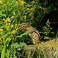 Chipmunk Sniffing Flowers by Byron Varvarigos