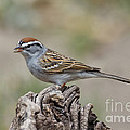 Chipping Sparrow by Anthony Mercieca