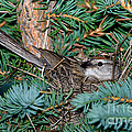 Chipping Sparrow On Nest by Anthony Mercieca
