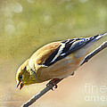Chirping Gold Finch by Debbie Portwood
