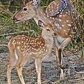 Chital Deer And Fawn by Louise Morgan