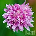 Chive Flower by Nick  Biemans