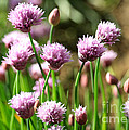 Chives by Carol Groenen