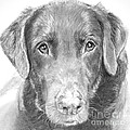 Chocolate Lab Sketched In Charcoal by Kate Sumners