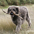 Chocolate Labradoodle by John Daniels