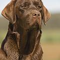 Chocolate Labrador Dog by Jean-Michel Labat