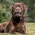 Chocolate Labrador Dog by Johan De Meester