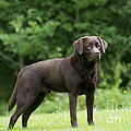 Chocolate Labrador by John Daniels