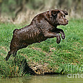 Chocolate Labrador Jumping by Jean-Michel Labat