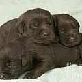 Chocolate Labrador Puppies by Jean-Michel Labat