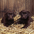 Chocolate Labrador Puppies by John Daniels