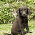 Chocolate Labrador Puppy by John Daniels