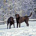 Chocolate Labrador Retrievers by Rolf Kopfle